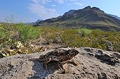 Texas horned Lizard in defensive posture USA