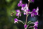 Insect flying to a willowherb iin summer France