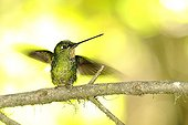 Colibri Buff-winged Starfrontlet female in Ecuador