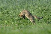 Chat sauvage mulotant dans une prairie en été France