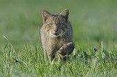 Chat sauvage marchant dans une prairie en été France
