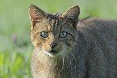 Portrait de Chat sauvage dans une prairie en été France