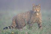 Chat sauvage dans une prairie en été Vosges France