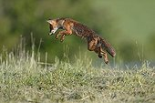 Red fox hunting in a meadow Vosges France