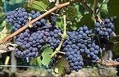 Wine grape 'Noir hâtif de Marseille' in fruit