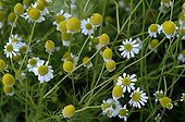 Roman chamomile in bloom in a garden