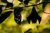 Bat hanging on the edge of forest in French Guiana