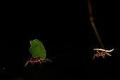 Fourmi coupeuse de feuilles en forêt Guyane Française