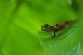 Anolis sur une feuille en forêt Guyane Française