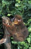 Lemur à collier roux adulte sur une branche
