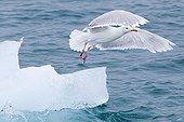 Glaucous Gull flying away on ice Liefdefjord
