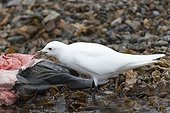 Ivory Gull eating a dead seal Spitsbergen