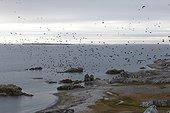 Little Auks in flight Huttevika Spitsbergen Svalbard