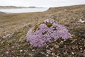Moss campion flowers in the tundra Spitsbergen Svalbard