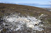 Remains of Svalbard reindeer died in the Svalbard tundra