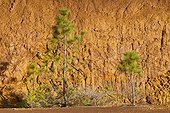 Caribbean pine growing on bare soil New Caledonia