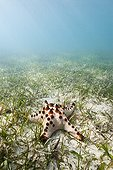 Chocolate Chip Sea Star in a seagrass New Caledonia