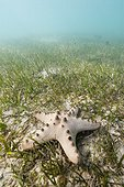 Sea Star in a seagrass New Caledonia