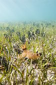 Sea slug in a seagrass New Caledonia