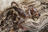European yellow tailed scorpion on a piece of wood France