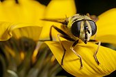 Dead head fly on a Gazania rigens flower in autumn France