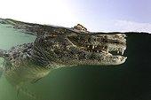 Caïman à museau large Baia Bonita au Brésil