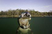 Caïman à lunettes dans le rio Baia Bonita au Brésil