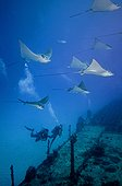 Spotted Eagle Rays and divers over a wreck Yucatan
