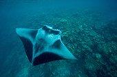 Manta feeding above Reef Maldives