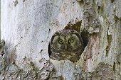 Female boreal owl nest in a tree trunk Switzerland