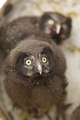 Portrait of a Young Boreal Owl Jura Switzerland