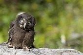 Young boreal Owl on strain Jura Switzerland