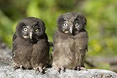 Young boreal Owls on strain Jura Switzerland