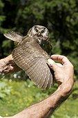 Boreal Owl grip Jura Switzerland