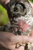 Boreal Owl brood patch of Jura Switzerland