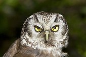 Portrait of Boreal Owl Jura Switzerland