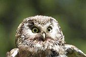 Portrait of Boreal Owl Switzerland