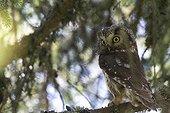 Female boreal owl on a pine branch Jura Switzerland