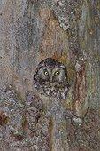 Female boreal owl nest in a tree Jura Switzerland
