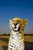 Portrait of a snarling Leopard  South Africa