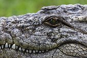 Portrait of Nile crocodile KwaZulu Natal South Africa