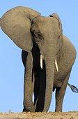 African Elephant Chobe NP Botswana