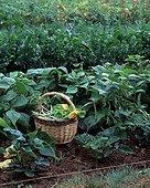 Harvest of vegetables in a kitchen garden