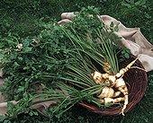 Harvest of parsnips in a kitchen garden