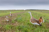 Great Bustards standing in a wheat stubble in autumn England