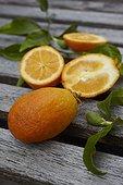 Harvest of citrangequats 'Thomasville' in a garden