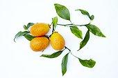 Harvest of citrangequats 'Thomasville' in studio