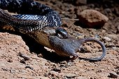 Indian Cobra swallowing a rodent