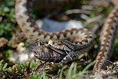 Meadow Viper eating an Italian locust Southeast France
