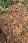 Petroglyph site near Peet Alberts Kamanjab Namibia ; Representations of animals